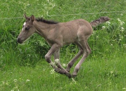 Eesti hobune Voore Ambra