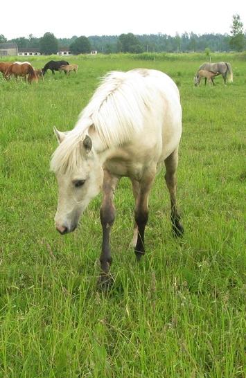Voore Tallid - eesti hobune Voore Tarapita